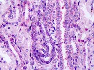 Immunohistochemistry (Formalin/PFA-fixed paraffin-embedded sections) - Anti-Frizzled 8 antibody - Extracellular domain (ab150500)