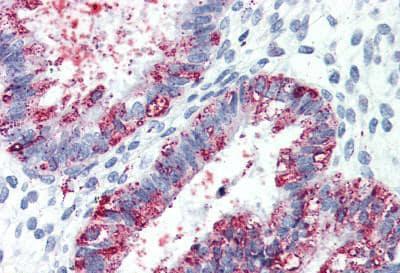 Immunohistochemistry (Formalin/PFA-fixed paraffin-embedded sections) - Anti-GPCR GPR27 antibody - Cytoplasmic domain (ab150636)