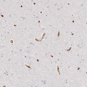 Immunohistochemistry (Formalin/PFA-fixed paraffin-embedded sections) - Anti-KIAA2022 antibody (ab150784)