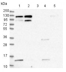 Western blot - Anti-KRI1 antibody (ab150902)