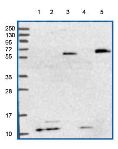 Western blot - Anti-ATP5L antibody (ab150920)
