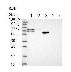 Western blot - Anti-KANSL1L antibody (ab150957)