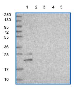 Western blot - Anti-C20orf118 antibody (ab150987)