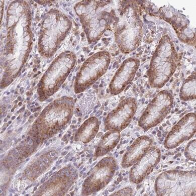 Immunohistochemistry (Formalin/PFA-fixed paraffin-embedded sections) - Anti-TMEM121 antibody (ab151077)