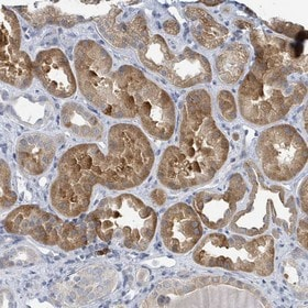Immunohistochemistry (Formalin/PFA-fixed paraffin-embedded sections) - Anti-ANKRD55 antibody (ab151114)