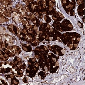 Immunohistochemistry (Formalin/PFA-fixed paraffin-embedded sections) - Anti-NDST2 antibody (ab151141)