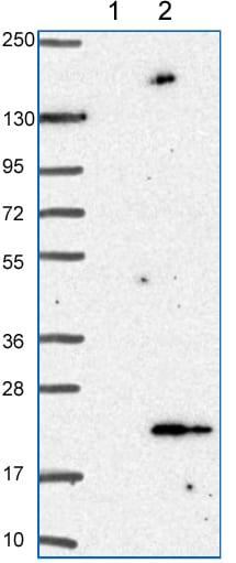 Western blot - Anti-ANAPC13 antibody (ab151216)