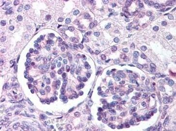 Immunohistochemistry (Formalin/PFA-fixed paraffin-embedded sections) - Anti-Wnt9b antibody (ab151220)