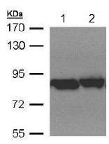 Western blot - Anti-TRAP1 antibody (ab151239)
