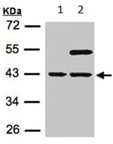 Western blot - Anti-SNURPORTIN1 antibody - C-terminal (ab151295)
