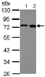 Western blot - Anti-TRIOBP antibody - C-terminal (ab151320)