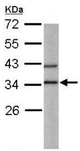 Western blot - Anti-BPNT1 antibody (ab151333)