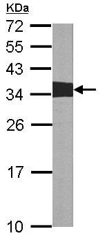 Western blot - Anti-Crk p38 antibody (ab151466)
