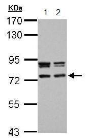 Western blot - Anti-CCDC151 antibody (ab151469)
