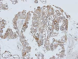 Immunohistochemistry (Formalin/PFA-fixed paraffin-embedded sections) - Anti-TRH Receptor antibody - C-terminal (ab151510)