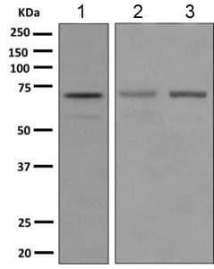 Western blot - Anti-STAM2 antibody [EPR8688] (ab151545)