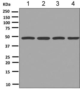 Western blot - Anti-Tbp7  antibody [EPR9910(B)] (ab151561)