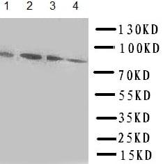 Western blot - Anti-Transcription factor Sp4 antibody (ab151777)