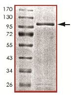 SDS-PAGE - Cytochrome P450 Reductase protein (Tagged) (ab151823)