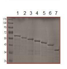 Western blot - Tau protein (Human) (ab151872)