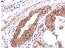 Immunohistochemistry (Formalin/PFA-fixed paraffin-embedded sections) - Anti-AlaRS antibody (ab151957)