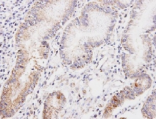 Immunohistochemistry (Formalin/PFA-fixed paraffin-embedded sections) - Anti-Lipoamide Dehydrogenase antibody (ab152105)