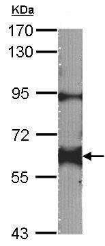 Western blot - Anti-Yes1 antibody (ab152108)