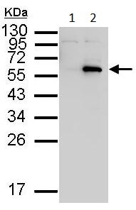 Western blot - Anti-c-Myc antibody (ab152146)