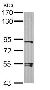 Western blot - Anti-Dishevelled 3 antibody - N-terminal (ab152161)