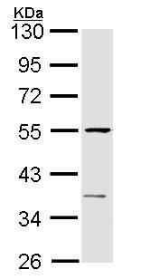 Western blot - Anti-eRF1 antibody (ab153708)