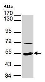 Western blot - Anti-eEF1A1 antibody (ab153710)