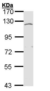Western blot - Anti-EXTL3 antibody (ab153713)