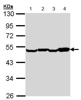 Western blot - Anti-EEF1A2 antibody (ab153714)