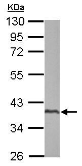 Western blot - Anti-SPATA4 antibody (ab153715)