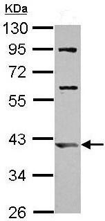 Western blot - Anti-ARL13B antibody (ab153725)