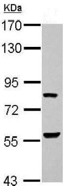 Western blot - Anti-ERF antibody (ab153726)