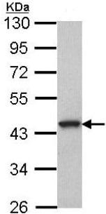 Western blot - Anti-GPCR GPR20 antibody - C-terminal (ab153734)