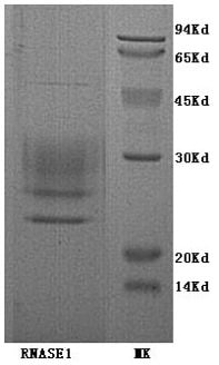 SDS-PAGE - Ribonuclease A protein (His tag) (ab153786)