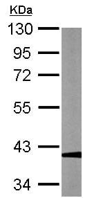 Western blot - Anti-GAPDHS antibody (ab153802)