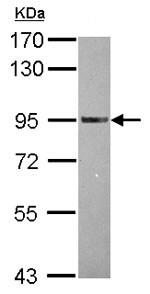 Western blot - Anti-TRAF3IP1 antibody - N-terminal (ab153860)