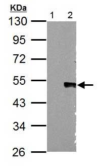 Western blot - Anti-Wnt5a antibody (ab153876)