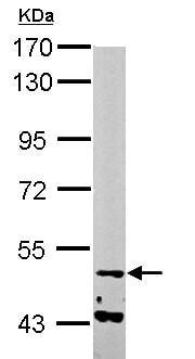 Western blot - Anti-NARF antibody (ab153911)