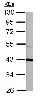 Western blot - Anti-GOT2 antibody (ab153924)