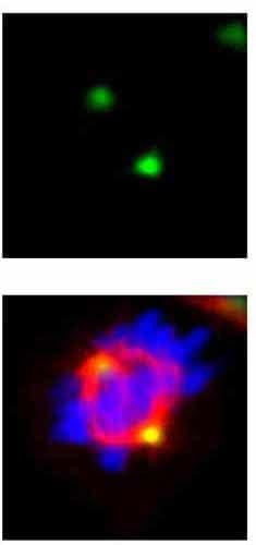 Immunocytochemistry/ Immunofluorescence - Anti-GCP4 antibody (ab153939)