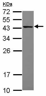Western blot - Anti-MRPS27 antibody (ab153940)