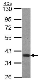 Western blot - Anti-FOXB1 antibody - C-terminal (ab153947)