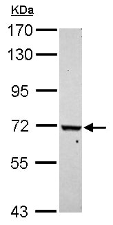 Western blot - Anti-WDR91 antibody - N-terminal (ab153955)