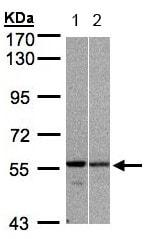 Western blot - Anti-PRP19 antibody (ab153957)