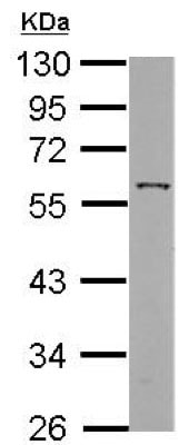 Western blot - Anti-ANGPTL3 antibody (ab154009)