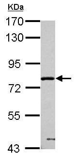 Western blot - Anti-PPWD1 antibody (ab154040)